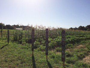Delicious vegetables grow in their assigned rows at Vince Maloney's farm.